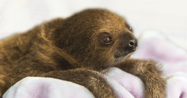 Baby sloth ready for visitors at Pittsburgh National Aviary