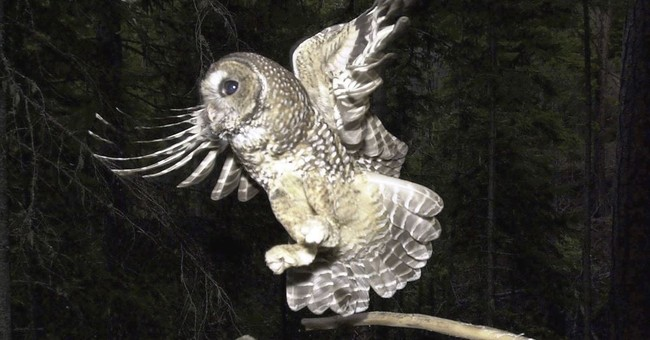Study blames pot farms for poisoning of threatened owls