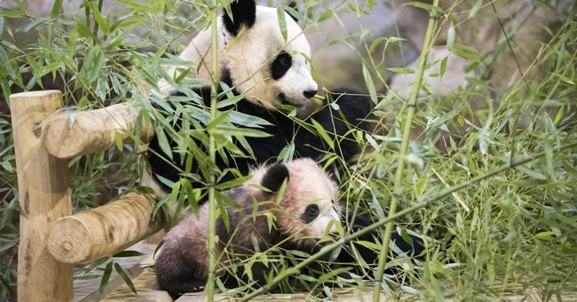 France's playful baby panda makes 1st public appearance