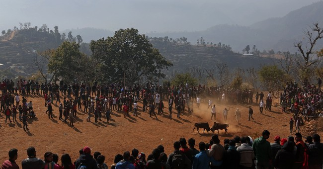 AP Photos: Bulls pampered a year fight for a day in Nepal