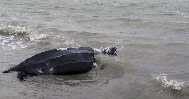 World's largest sea turtle could come off 'endangered' list