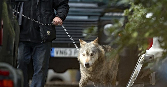 Escaped wolf recaptured in Britain after hour-long lockdown