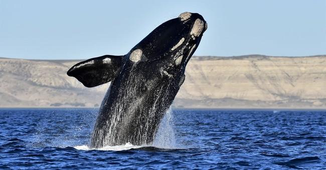 Endangered whale's calving season peaks, but no babies seen