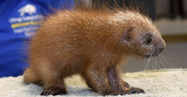 Baby porcupine is 1st of its species born at Brookfield Zoo