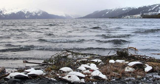 Alaska seabird deaths continue trend tied to warming ocean
