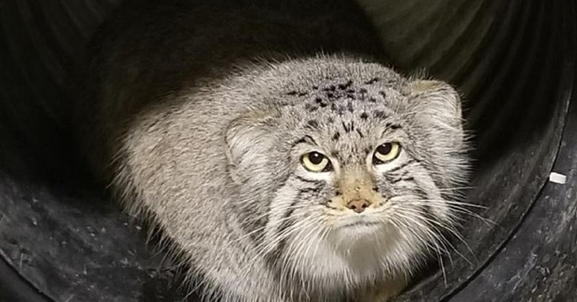 Salt Lake City zoo staff searches for missing mountain cat