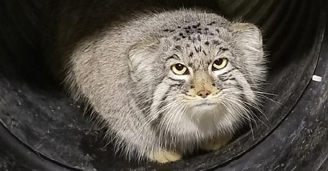 Escaped small mountain cat recaptured at Salt Lake City zoo
