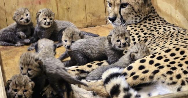 Cheetah at St. Louis Zoo gives birth to 8 cubs