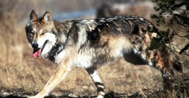 Lawsuits say Mexican gray wolf recovery plan is flawed