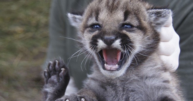 Southern California cougar in study found dead near road