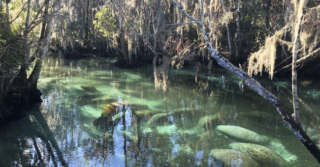 Report: Cold snap killed 35 manatees in Florida  in January