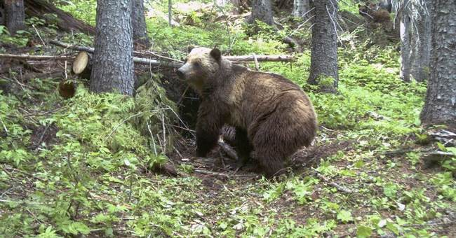 Montana recommends against Yellowstone grizzly hunt in 2018