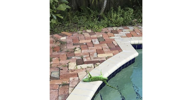 It's so cold in Florida, iguanas are falling from trees