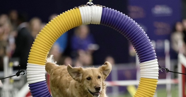 Border collie Fame(US) wins Westminster agility contest