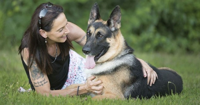 Dogged: Badly wrecked, German shepherd shows at Westminster