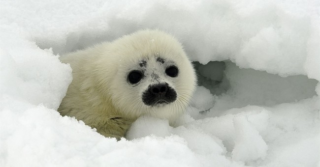 Appeals Court: Arctic ringed seals are threatened species