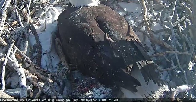 Second bald eagle hatches in Southern California mountains