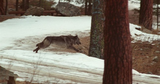 Idaho can keep data on animals tracked illegally amid appeal