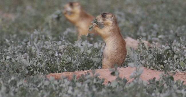 US Supreme Court won't hear prairie dog protections lawsuit