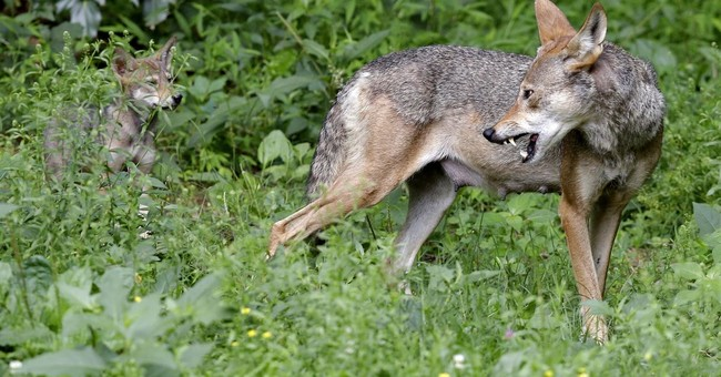 Wildlife Officials Risked Woman's Life Over Wolf Concerns