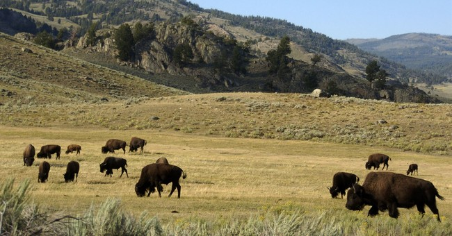 "Hilarious: Yellowstone Reporter Gets Too Close to Bison, ""NOPE""s His Way Right Out of There"