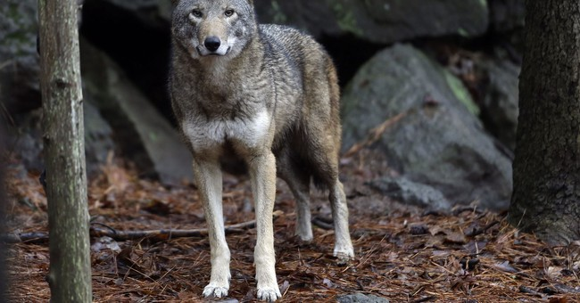 Will Wolves Be Removed From Endangered Species List?