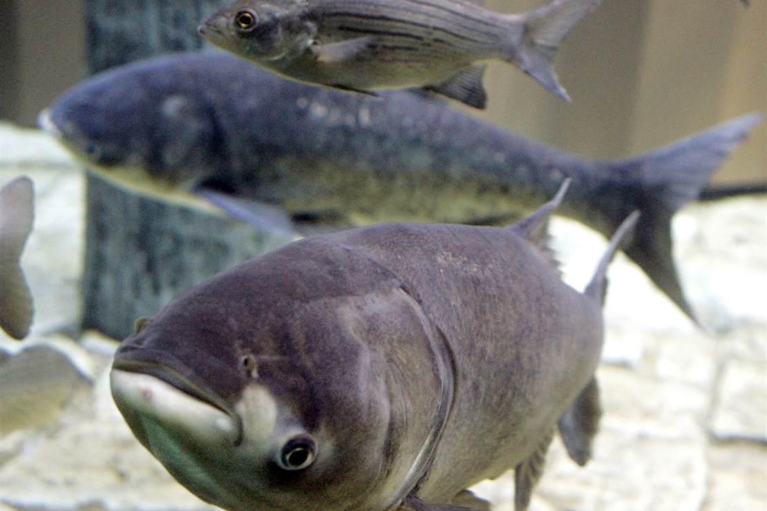 Seriously? We're renaming the Asian carp? – HotAir