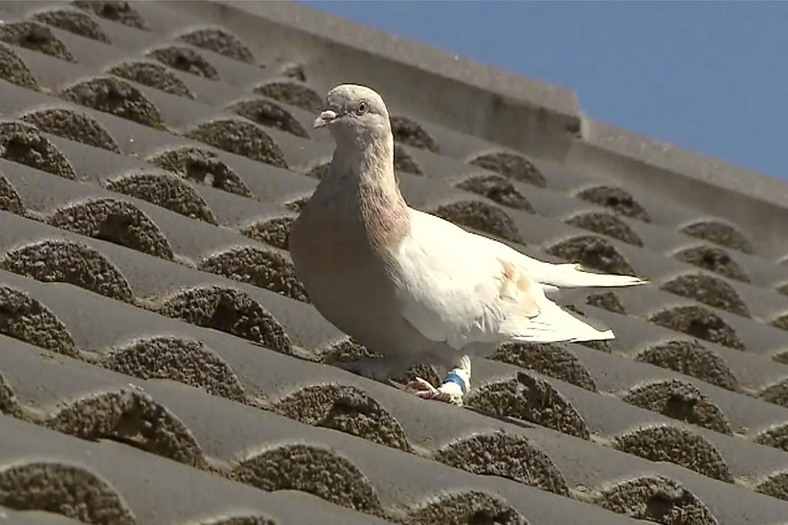 Australia Plans To Kill A Pigeon For Breaking Quarantine...But The Craziest Part Is What They Named It