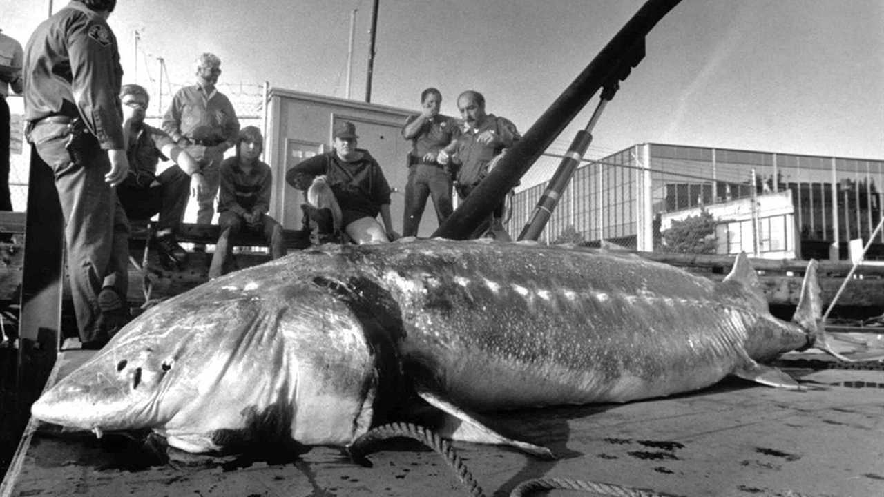 giant sturgeon in lake washington - 1024×641